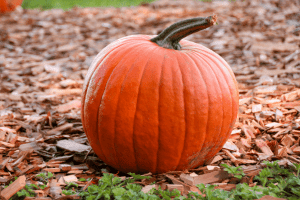 pumpkin sitting on wood chips