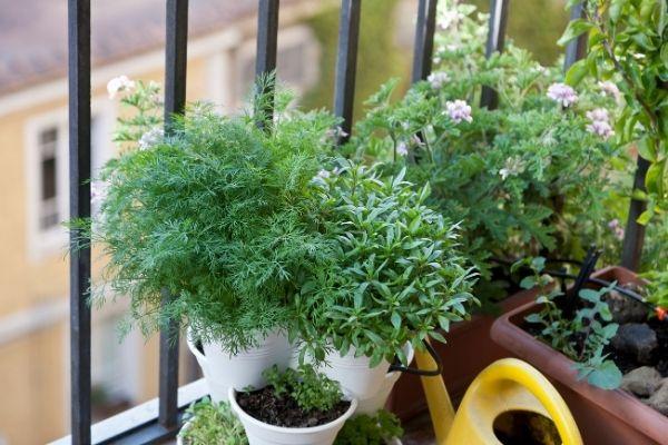 herbs growing in pots on a balcony